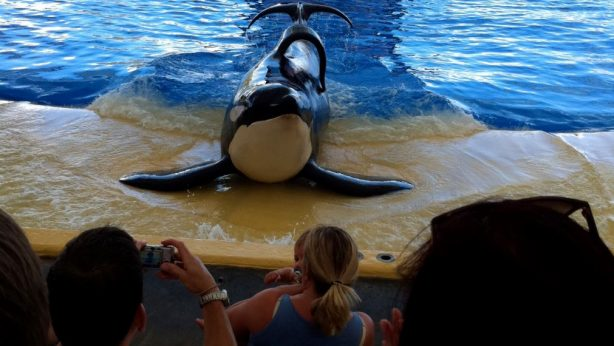 Tilikum the orca whale