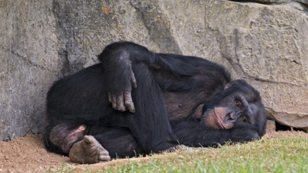 Depressed chimpanzee lying around in a zoo