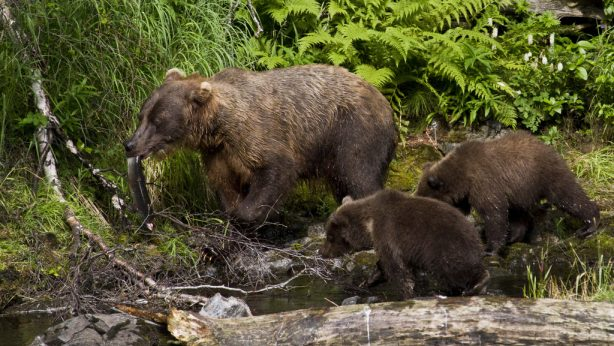 Bears feeding on fish