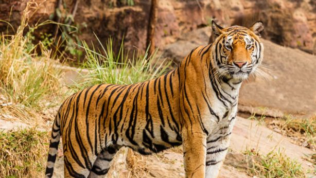tige standing in a field