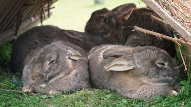rabbits resting in an outdoor hutch