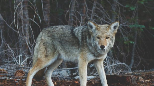 coyote in a forest