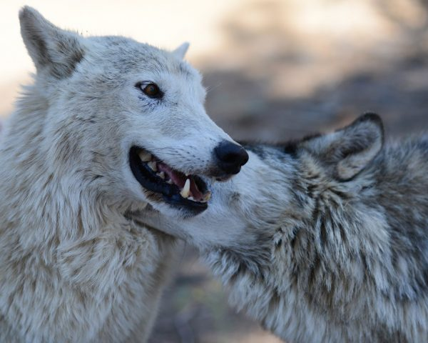 Wolves in Washington