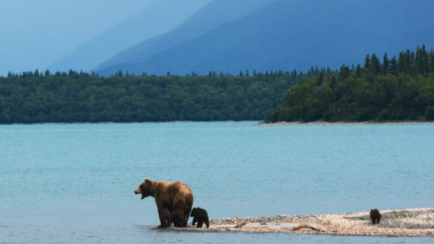 Grizzly bear and cubs by the water in the mountains