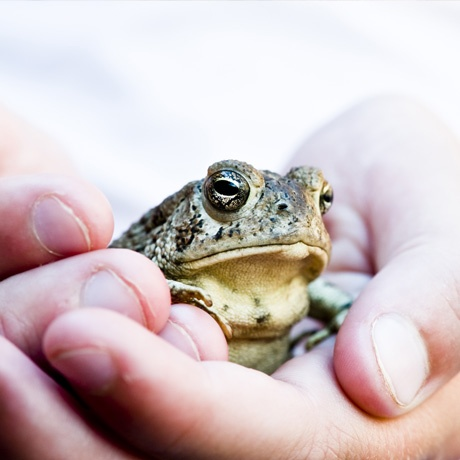 Frog held gently in hands