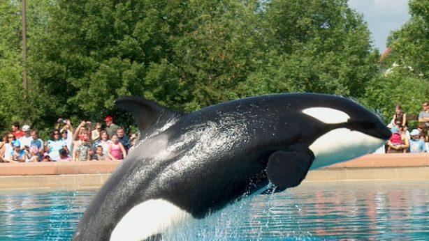 Orca whale performing in aquarium