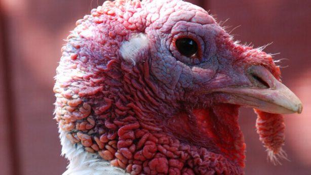 Turkey at Farm Sanctuary