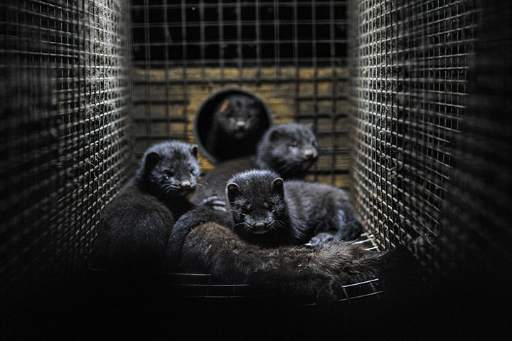 Photo of minks in cage