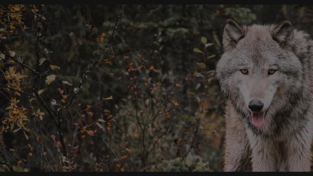 Wolf in Field